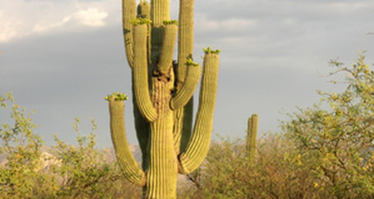 El saguaro glorioso.