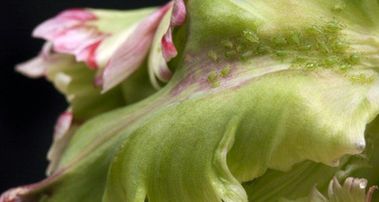 Los áfidos comiendo una hoja