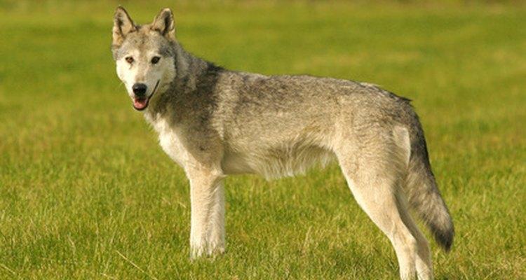 A altura de um lobo cinzento varia de 65 a 95 cm, contando a partir da pata até os ombros