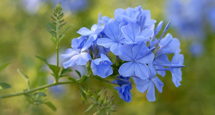 Plumbago grows well in containers or in the garden.