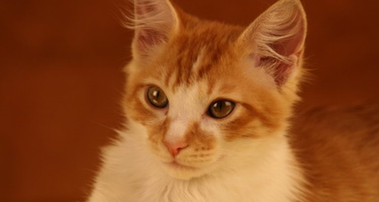 Essa condição de pele surge principalmente nos gatos laranjas