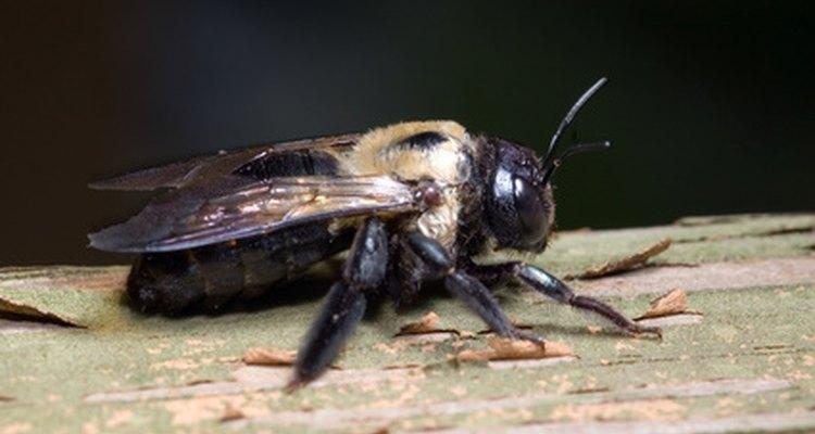 Carpenter bees nest in wood.