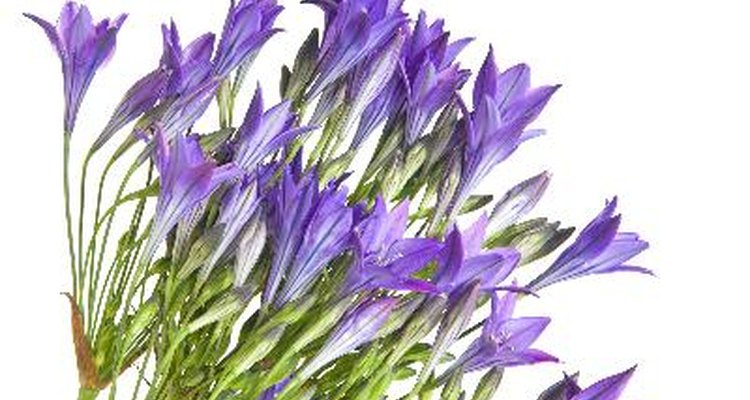 Brodiaea produce clusters of bell-shaped flowers during spring and summer.