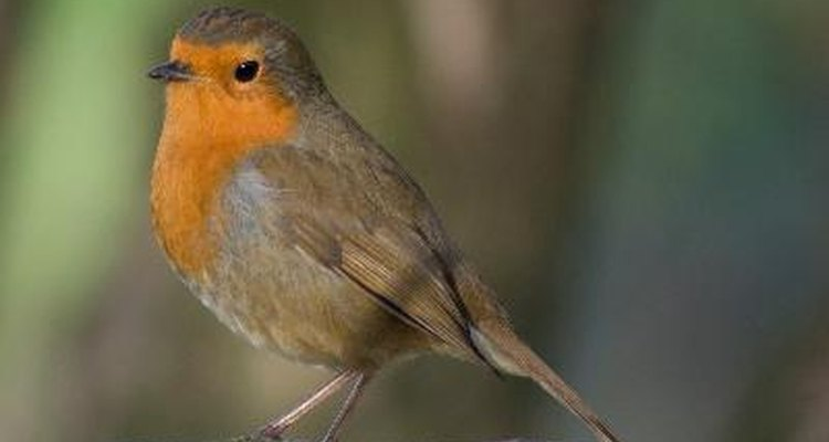Only adult robins have a bright red breast.
