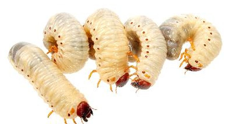Many worm-like bugs found in homes are really insect larvae.