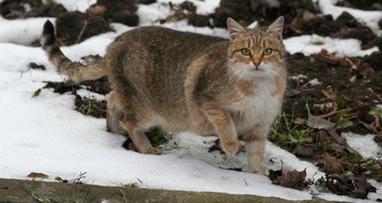 Os gatos não castrados marcam seu território urinando
