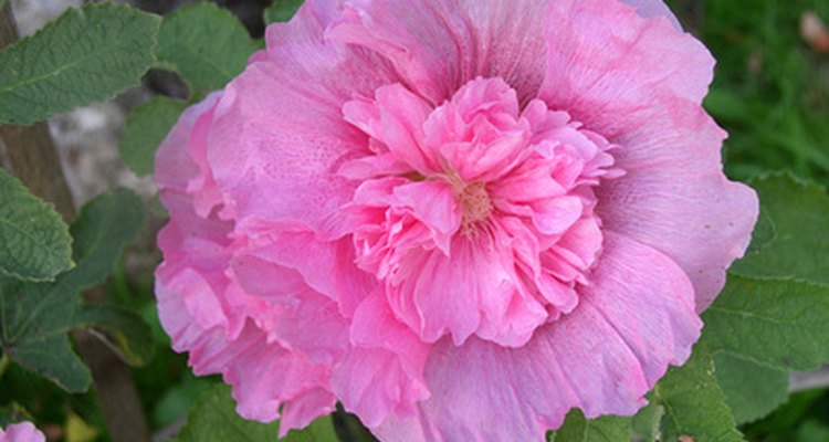 You could use hollyhocks as a living fence.