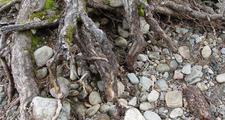 Las raíces ayudan a sostener la tierra en su lugar.