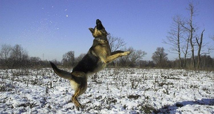 Se utiliza la cirugía para reparar la rotura de ligamentos cruzados en los perros.