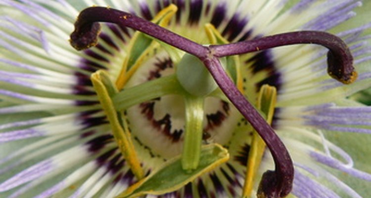 Complex flower components of the passion flower
