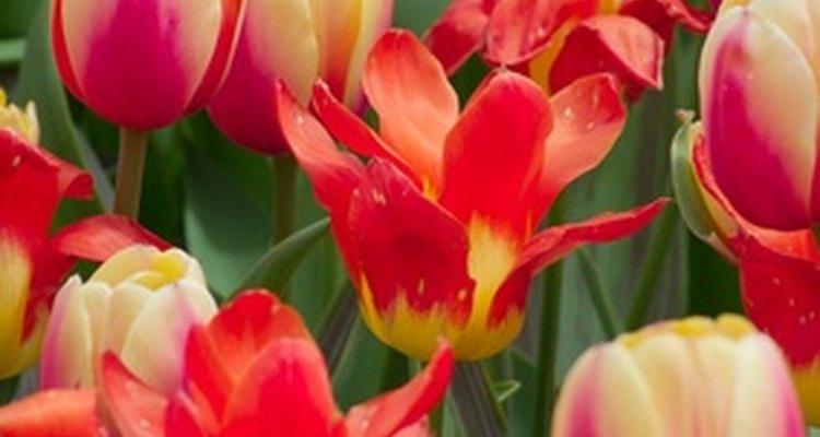 Desde que fueron introducidos a Holanda en el Siglo XVll, los tulipanes han encantado a los jardineros de todo el mundo con su belleza.