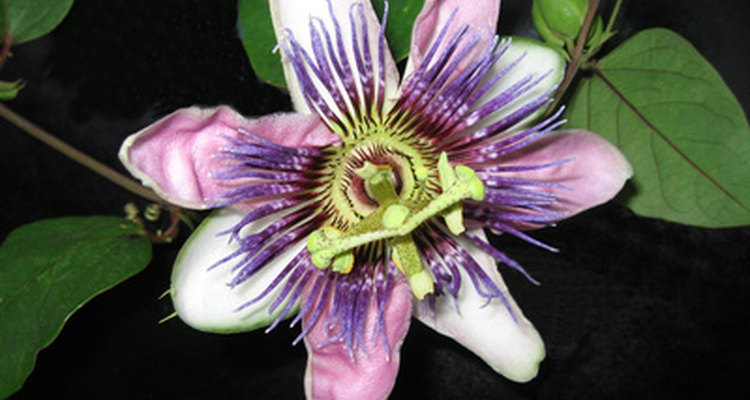 Passionflower is an active ingredient in PetAlive PetCalm Formula.