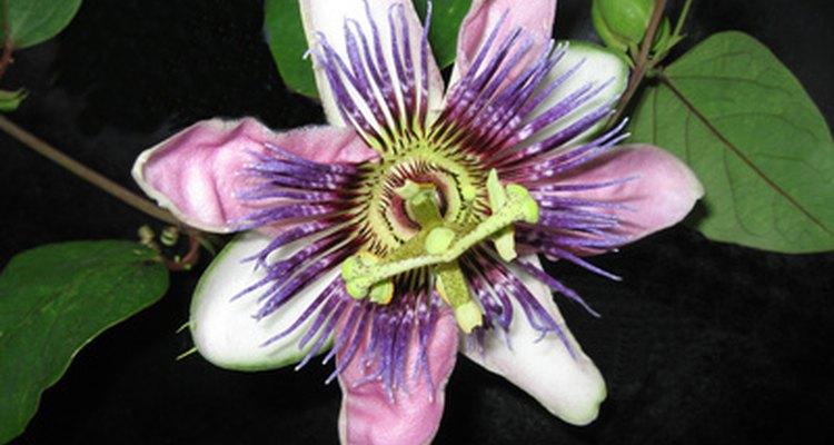 A flor de maracujá é um ingrediente ativo do PetCalm, da PetAlive