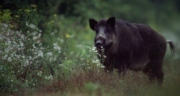 Enquanto apenas os suínos machos domesticados são conhecidos como porcos, o termo também é usado para descrever qualquer porco selvagem