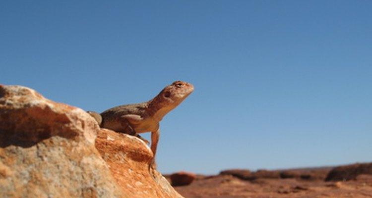 Os lagartos vivem nos desertos australianos.