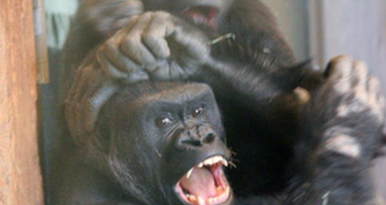 Os predadores de gorilas da montanha são os humanos e os leopardos