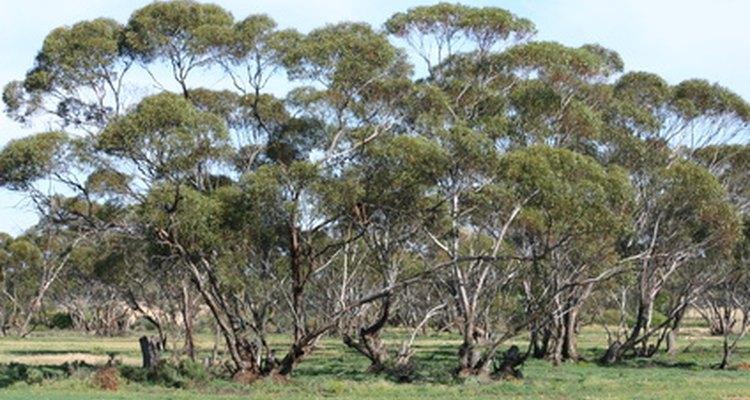 Eucalyptus trees reproduce in several ways.