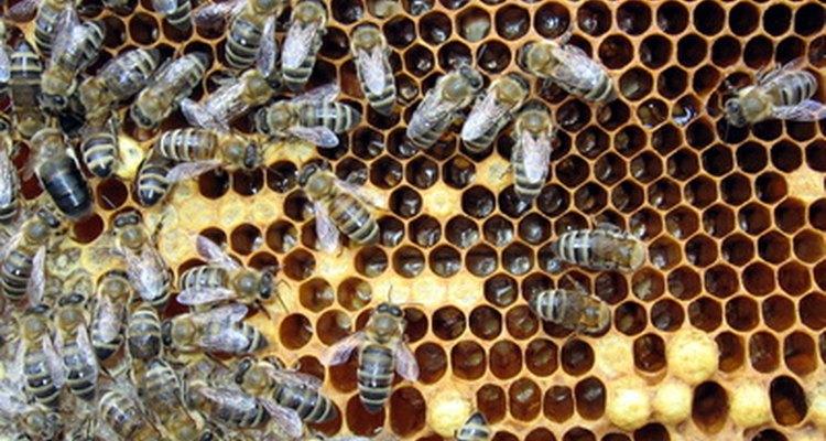 As abelhas são sociais e vivem em uma comunidade organizada