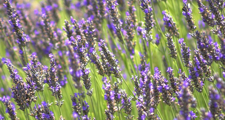 Lavender relaxes cats so that they lose motivation to disturb your garden.