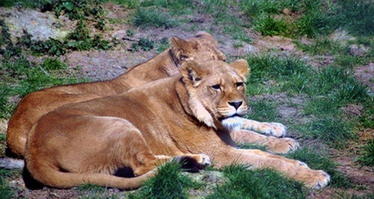 Los leones se agrupan de forma parecida a la de los elefantes.