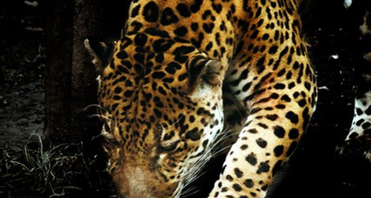 Los jaguares se mueven en silencio y rápidamente en la selva hacia la presa.