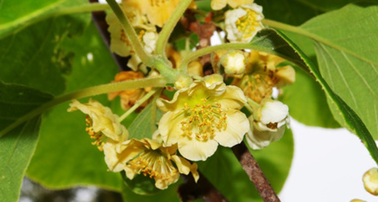 Flores de kiwis contêm órgãos reprodutivos masculinos ou femininos
