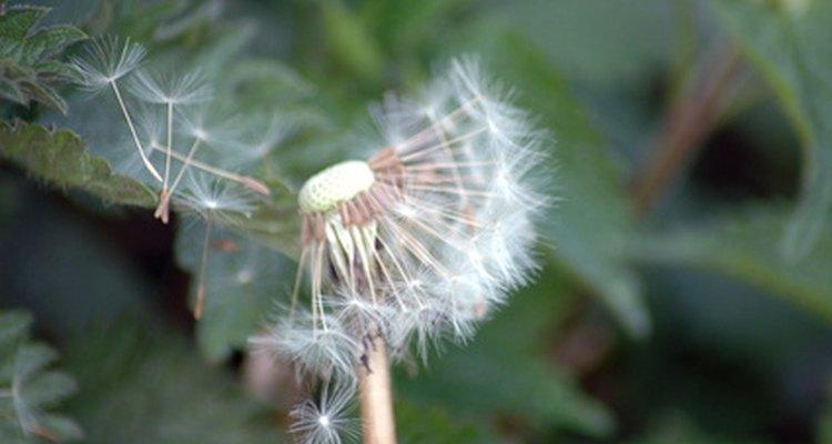 As sementes de uma flor dente-de-leão voam pelo ar quando sopradas