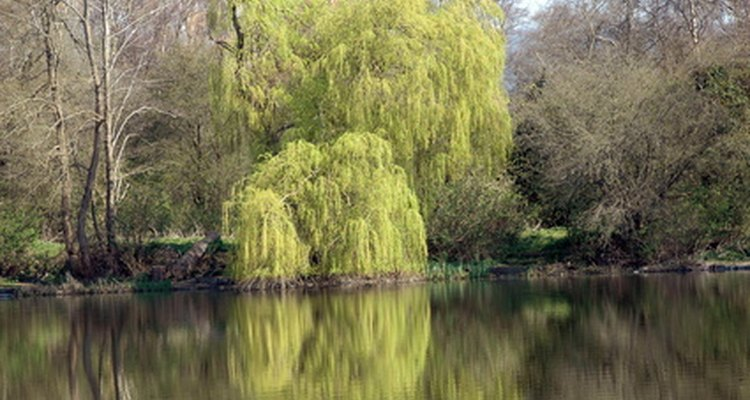 Diamonds in willow trees are most likely caused by fungus.