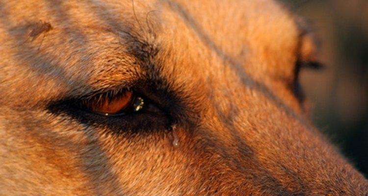 Inchaço nos tecidos oculares podem ser resultado de alergias, anomalias ou infecções