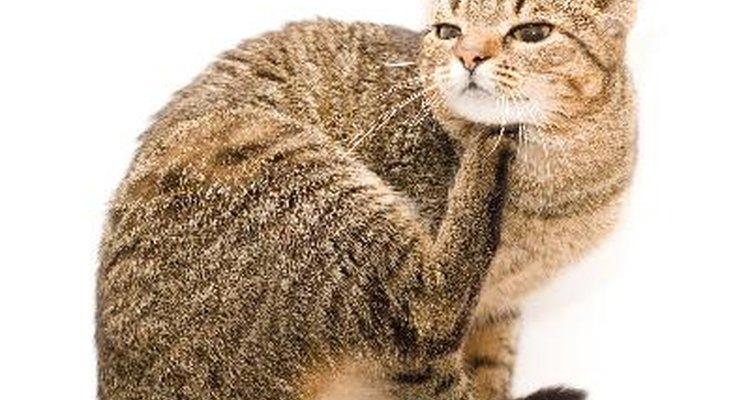 As pulgas são uma ameaça à saúde de seu gato e de sua própria família