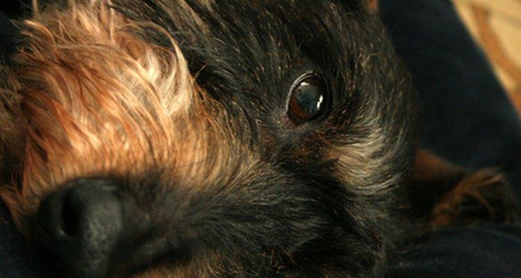 Trata de usar un remedio casero para curar una infección en el ojo de un perro.