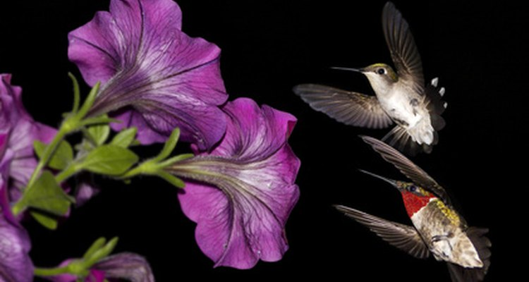 Hummingbirds help rainforest flowers grown by spreading pollen as they feed.