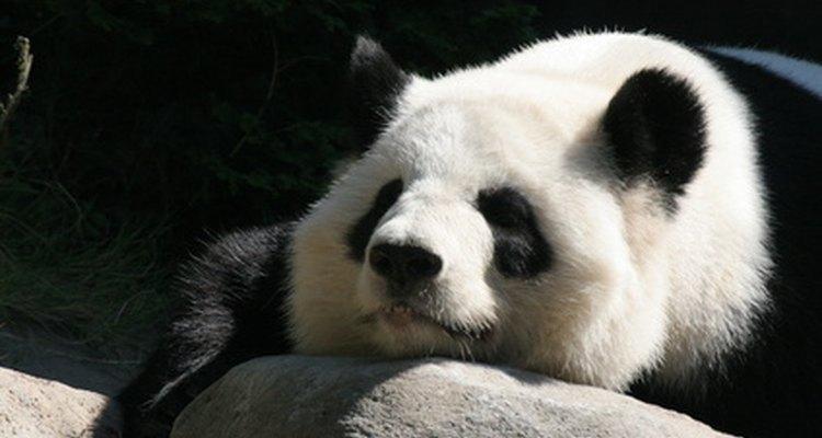 Giant pandas live near the Yangtze River.