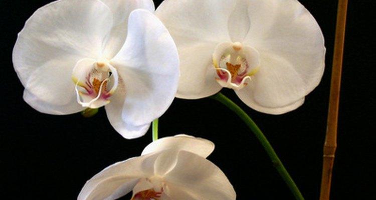 Flor de la orquídea Polilla.