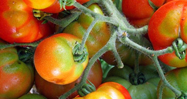 Las plantas de tomate necesitan nutrientes y condiciones de crecimiento específicas para producir sus frutos.
