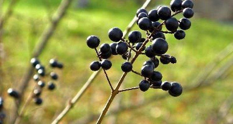 Los arándanos son ricos en antioxidantes y son deliciosos solos o con otros alimentos como cereales, panqueques o yogur.