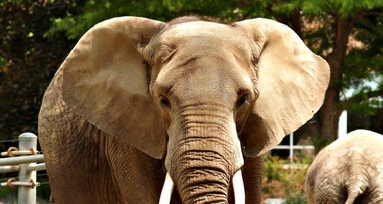Este elefante macho africano tem presas longas e fortes