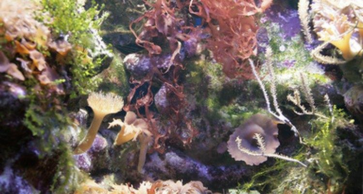 Las algas se reproducen de forma sexuada y asexuada.