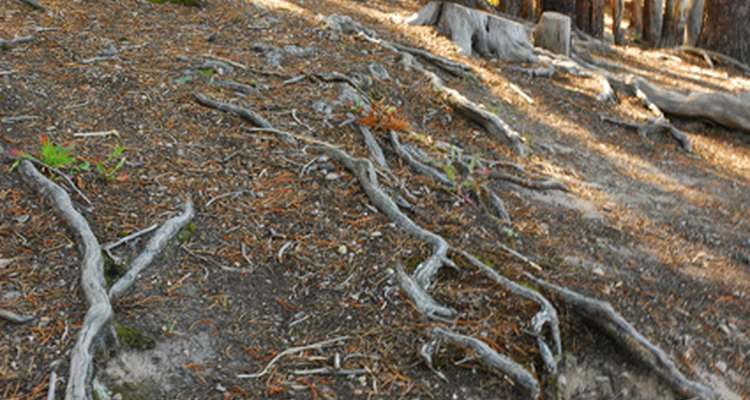 Erosion exposes shallow tree roots over time.