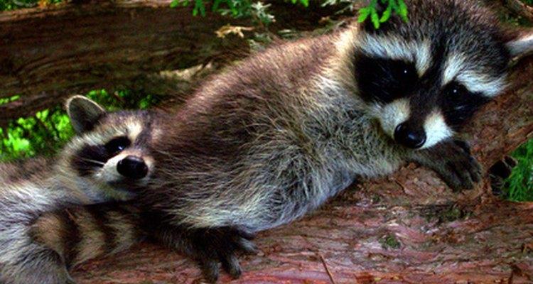 Eles podem ser fofos, mas guaxinins podem destruir sua casa e seu quintal