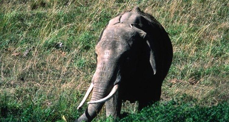 Los colmillos de elefante son de marfil, que es un bien muy valioso.