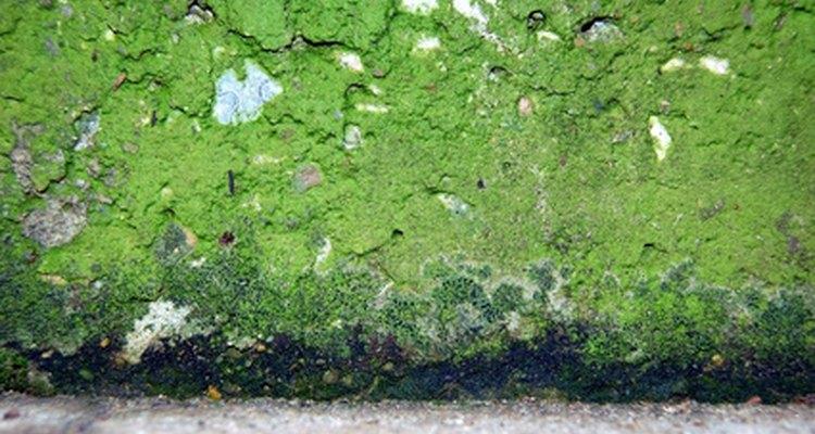 O mofo pode crescer em várias superfícies diferentes, inclusive em paredes de gesso calcinado
