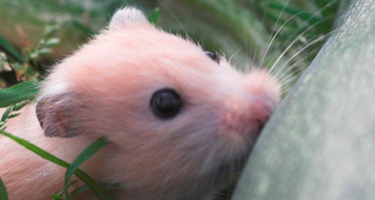 A diarreia em hamsters deve ser tratada imediatamente