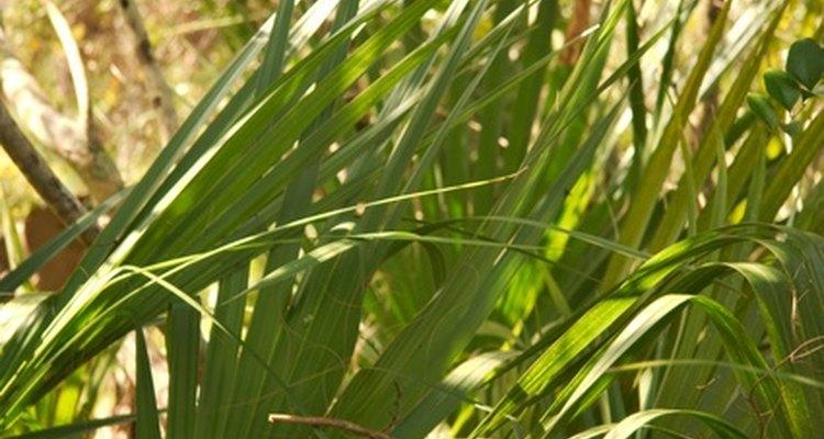 Crie cruzes de palmeiras frondosas para o culto do Domingo de Ramos