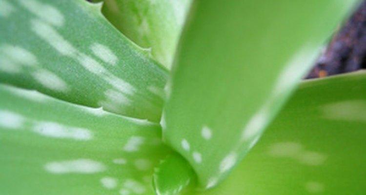 Folhas de babosa saudáveis