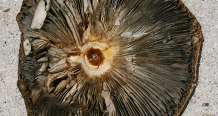 Los hongos Portobello son bajos en calorías.