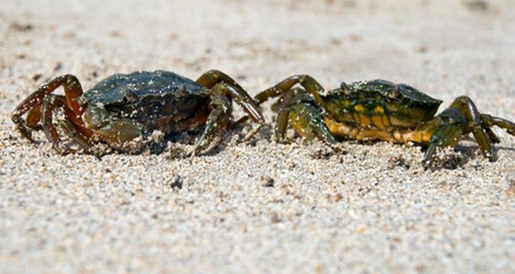 Los cangrejos son cazadores sobresalientes.