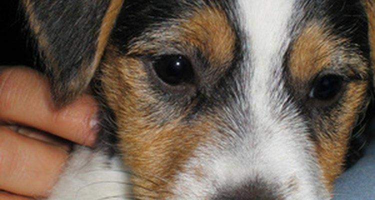 El Jack Russell terrier, muy energético.
