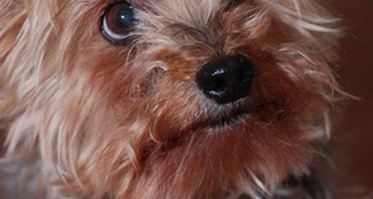 Yorkshire são cachorros populares, mas cruzá-los requer muita preparação e diligência