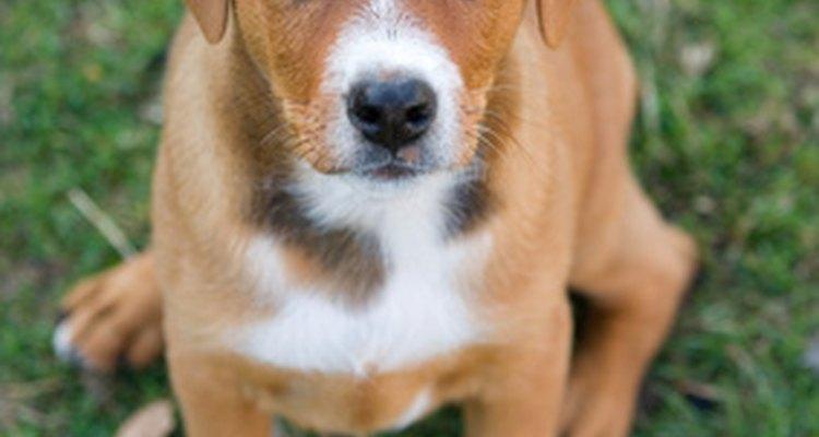 Todos os cães apresentam a esclerose nuclear em algum momento de suas vidas